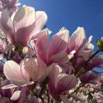 Jarní kůra s vůní magnólie